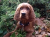Irish Setter, 3 months at time of photo, red